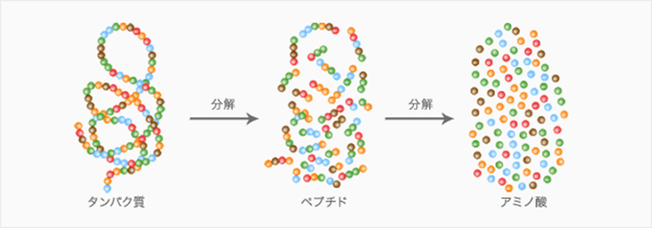 アミノ酸 と タンパク質