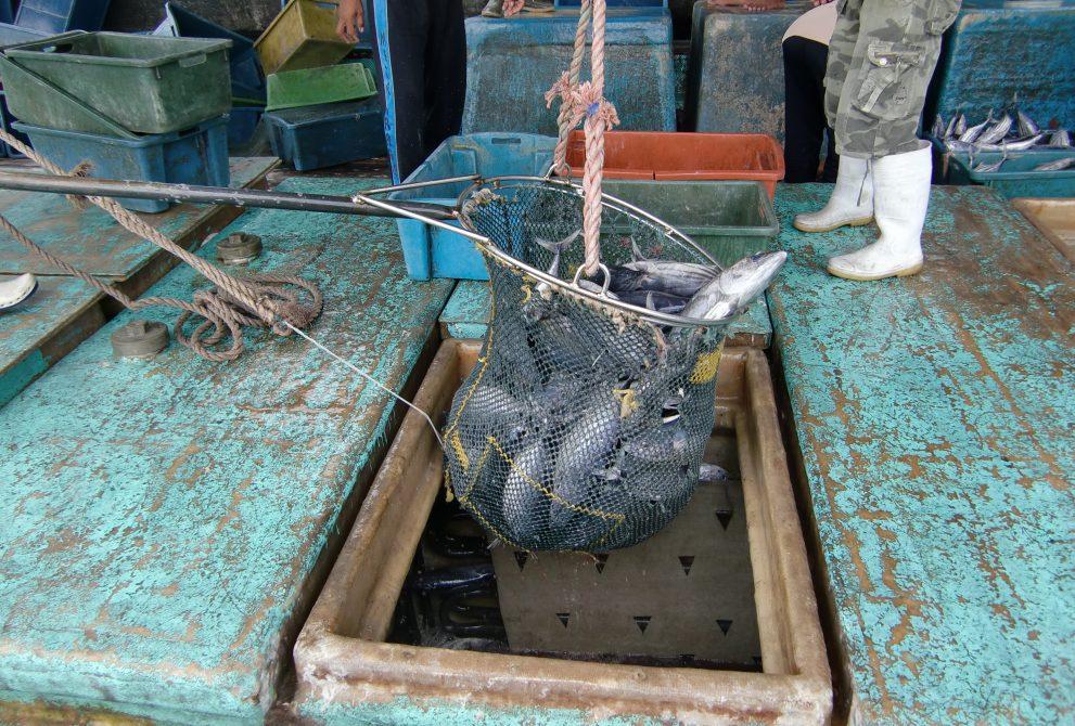 新鮮な鰹の水揚げ