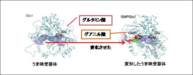 グルタミン酸×グアニル酸 受容体変形